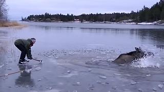 Moose Trapped In Frozen Lake - Video