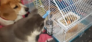 Dog and cat hypnotized by pet rat's every move