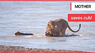Lioness snatches cub from crocodile infested river after it almost got swept away