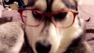 Four-eyed husky is definitely judging you - Video
