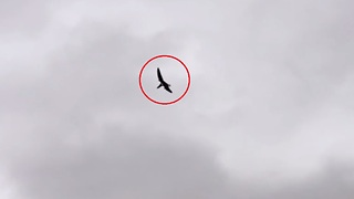 Man Spotted Pterosaur-Like Creature Flying In The Skies  - Video
