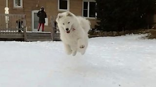 Snow-mo! Adorable footage shows samoyed crashing into the snow in slow motion - Video