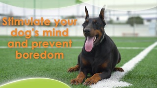Stimulate your dog's mind and prevent boredom - Video