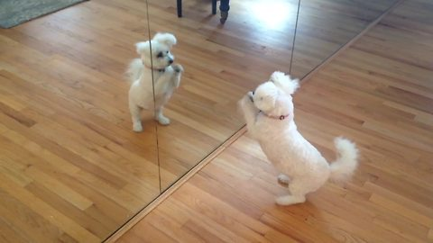 A Cute Puppy Plays With Himself In A Mirror