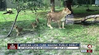 Naples Zoo debut African lion cubs