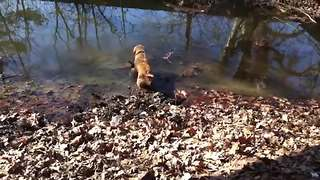 Golden Retriever beyond ecstatic to be playing in mud