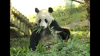 Giant Pandas Fall In Love - Video
