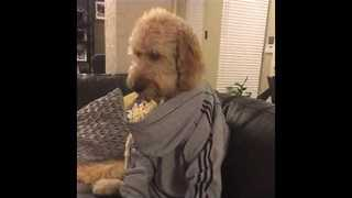 Dog Eats Popcorn Out of Human-Sized Hoodie - Video