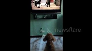 Poodle doesn't like watching other dogs on TV - Video