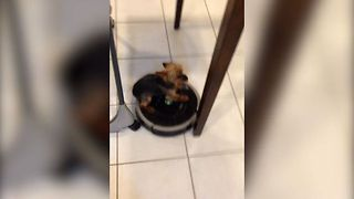 Cute Dog Gets A Ride From Roomba - Video