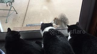 Squirrel has a captive audience ... of cats