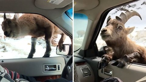 You Have To Be Kidding: Cheeky Ibexes Try To Climb In Through Car Windows