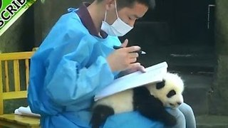 Adorable Panda Cub Becomes Keeper's Perfect Pad - Video