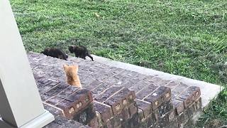 Litter of kittens adorably play together on stairs - Video