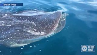 Captain spots whale shark near Anna Maria Island - Video