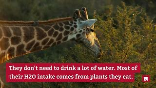 Giraffe Facts You Can't Live Without | Rare Animals - Video
