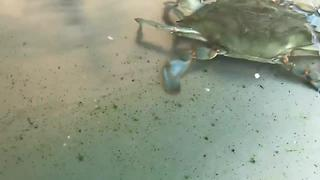 The Chesapeake Bay crab population is on the decline - Video