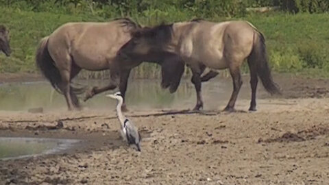 Wild Konik horses wrestle and play around with each other