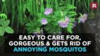 Plants that repel mosquitos | Rare Life - Video