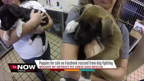 Puppies for sale on Facebook rescued from dog fighting by Detroit Pit Crew