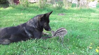 Emu chick loves to bond with German Shepherd best friend