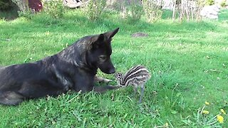 Emu Chick Shares Special Friendship With German Shepherd