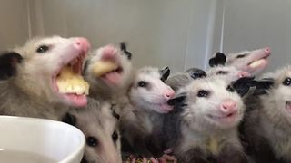 Hungry opossums chow down on bananas - Video