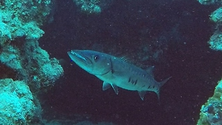 Scuba diver faces huge barracuda in tunnel entrance