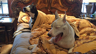 Two Lazy Great Danes complain about getting out of bed