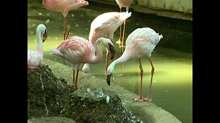 Fun Flamingo Facts - Video