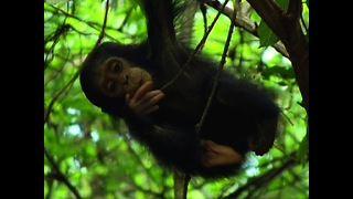 Chimpanzee Family Hang Out - Video