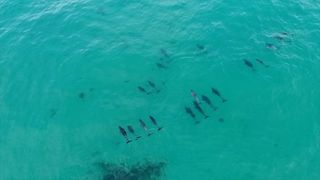 Dolphins Glide in Symmetry Along East Australian Coast - Video
