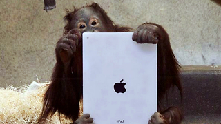Orangutans Learn How To Use iPads - Video