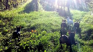 chihuahuas walking to the sun - Video