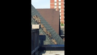 Mother Raccoon Leads Her Five Babies Across Rooftop - Video