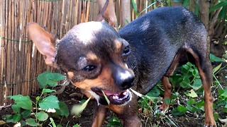 chihuahua dog healing himself - eating grass