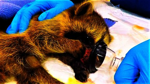 Rescued raccoon recovering from surgery captures veterinary staff's hearts