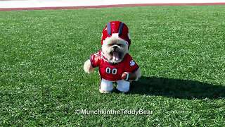 Munchkin the Teddy Bear plays football - Video