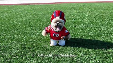 Munchkin the Teddy Bear plays football