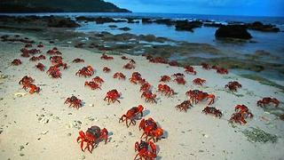 Millions of Red Crabs Take to Island Shore For Breeding Season - Video