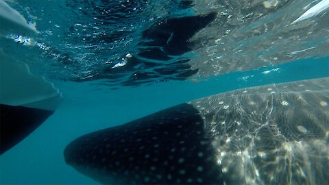 Whale Shark Collides With Charter Boat