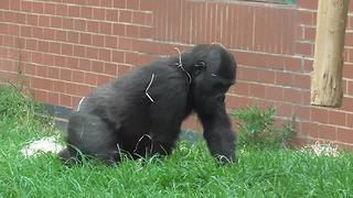 Gorilla baby caught hilariously rolling around enclosure
