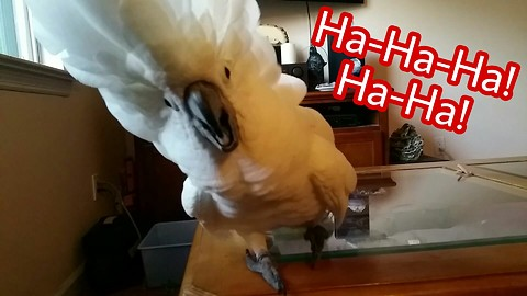 Playful cockatoo belts out hysterical laughter