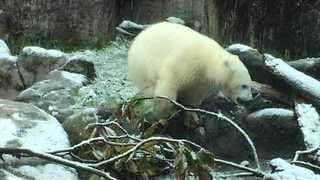 Oregon Zoo's Polar Bear Cub Plays in the Snow for the First Time - Video