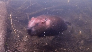 Beaver home receives surprise guest - Video