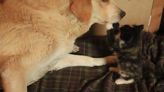 Rescued kitten fearlessly plays with livestock guard dog - Video