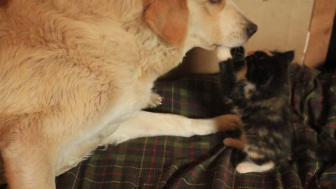 Rescued kitten fearlessly plays with livestock guard dog
