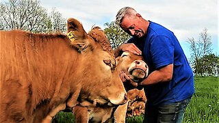 Cows become extremely demanding for love and affection