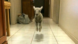 Cute Bouncing Lamb Becomes Huge Internet Star - Video