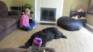 Newfoundland dog demands a belly rub - Video